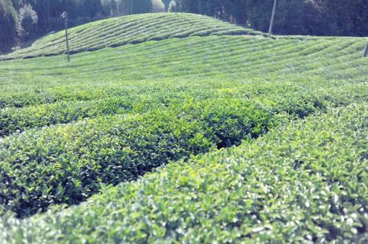 QPF茶畑FSC_3446